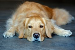 Renting out without online payment: Golden Retriever