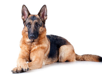 Renting out without online payment: German Shepherd