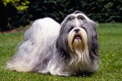 Renting out without online payment: Shih Tzu
