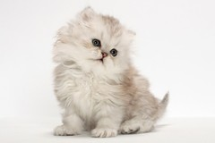 Renting out without online payment: Persian cat
