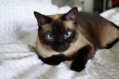 Renting out without online payment: Siamese cat