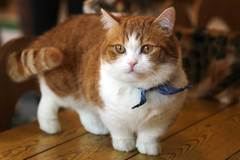 Renting out without online payment: Munchkin cat