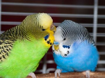 Renting out without online payment: Budgies