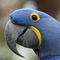 Renting out without online payment: Hyacinth Macaws