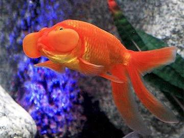 Renting out without online payment: Gold Fish