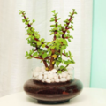 Selling: Profuse Jade Terrarium