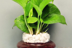 Selling: Lucky Money Plant Terrarium
