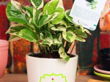 Green White Pothos Plant