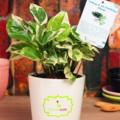 Selling: Green White Pothos Plant
