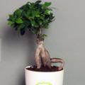 Selling: Ficus Bonsai Plant