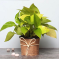 Selling: Fascinating Money Plant