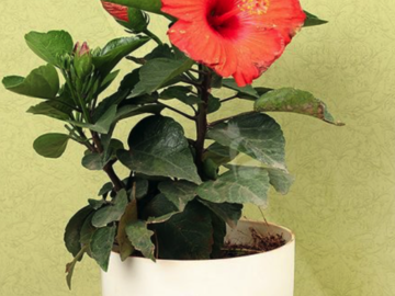 Selling: Red Hibiscus Plant