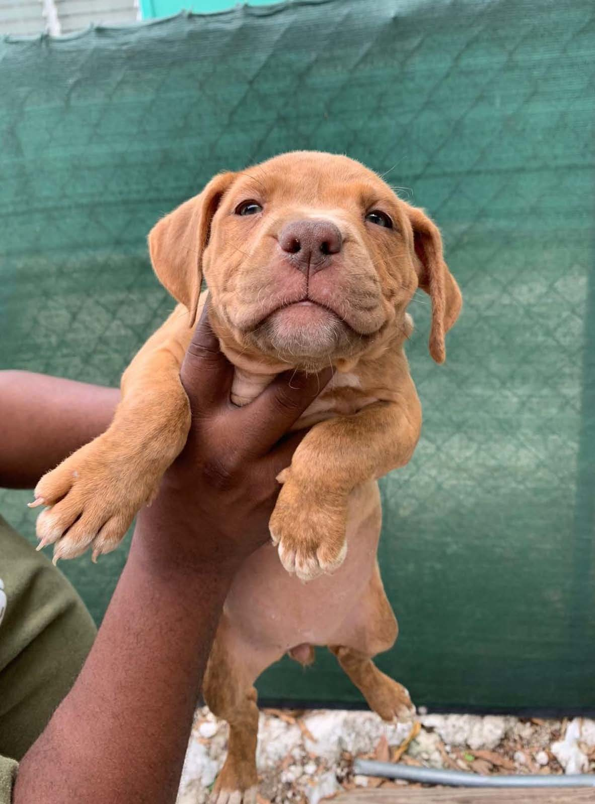 Male Camelot Puppy