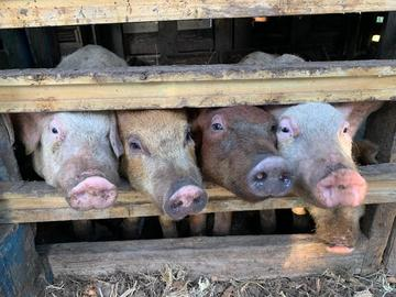 Sell: Yorkshire Piglets