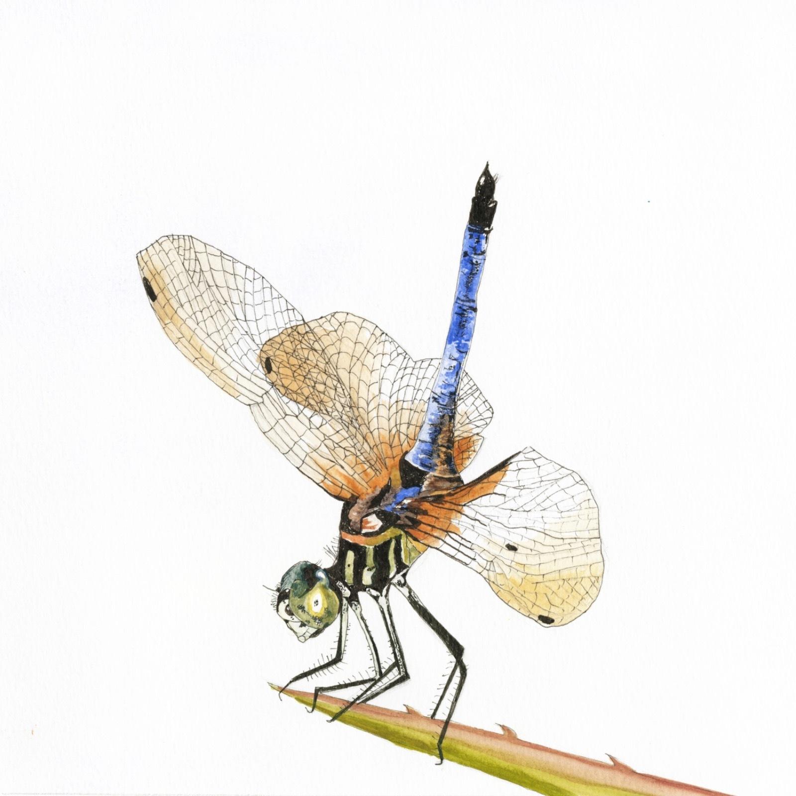 'Blue Dasher Dragonfly'