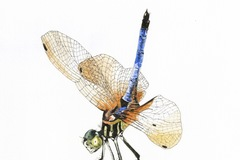 Selling: 'Blue Dasher Dragonfly'