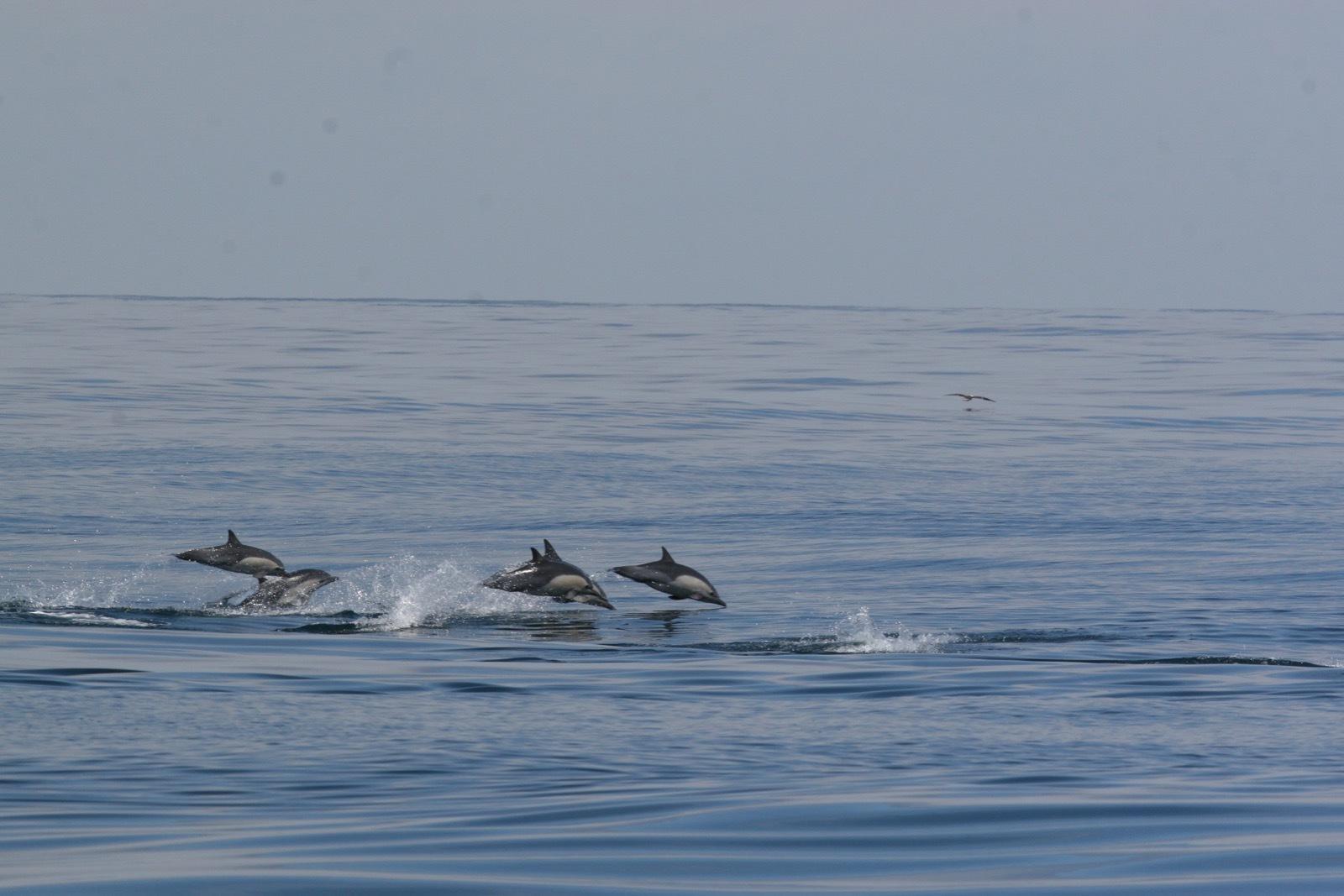 Avistamiento de Fauna Marina en la Bahía de Antofagasta